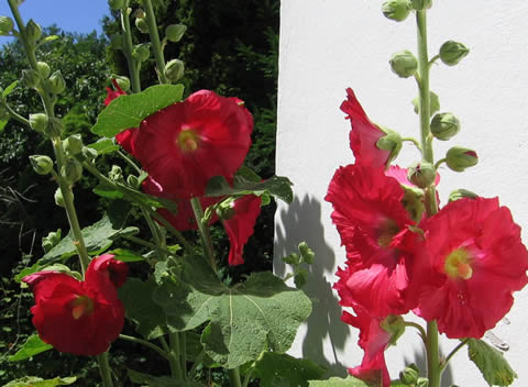 first hollyhocks blowing